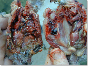 quail_worms